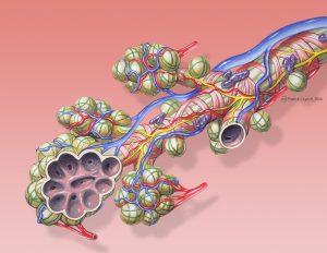Альвеолы, рисунок