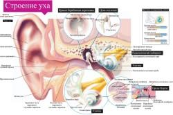 Структура ушного аппарата человека