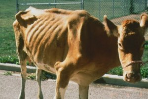 Истощение коровы